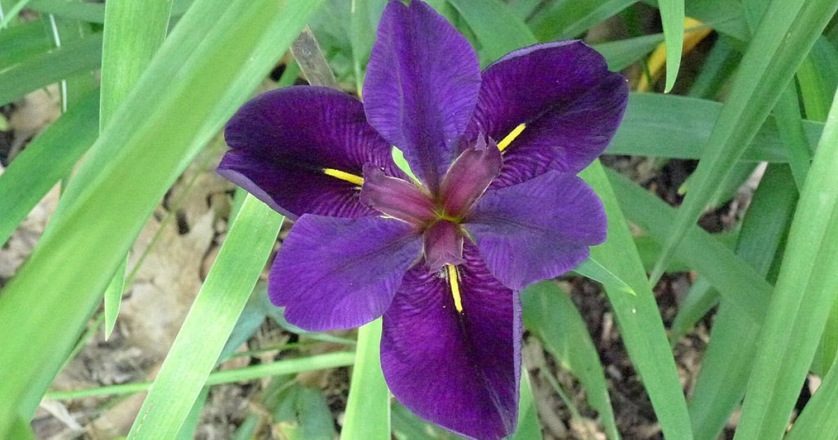 Should I Plant Iris Or Cattails In My Pond Platinum
