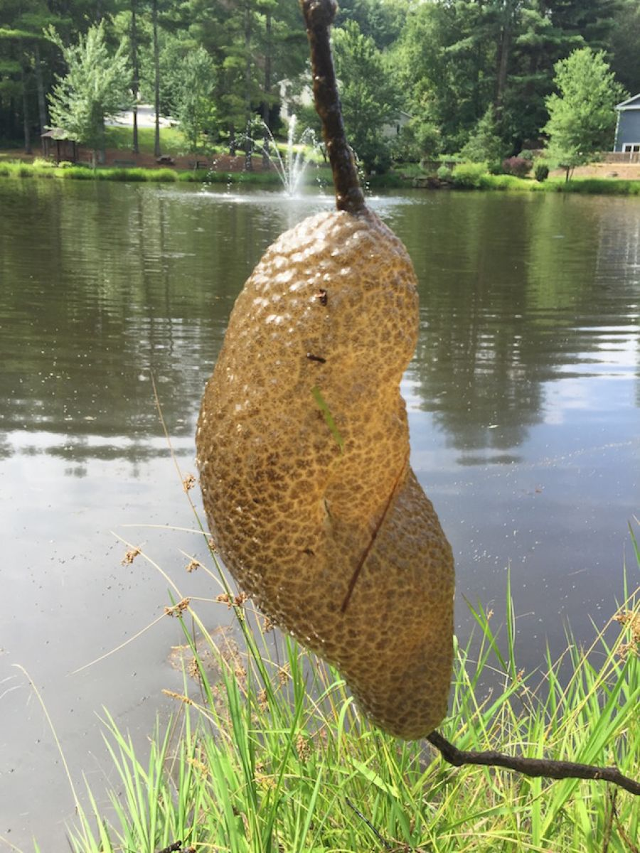 Golf Charlotte Nc >> What is This in My Pond? Bryozoan - Phylactolaemata? / Platinum Ponds & Lake Management ...